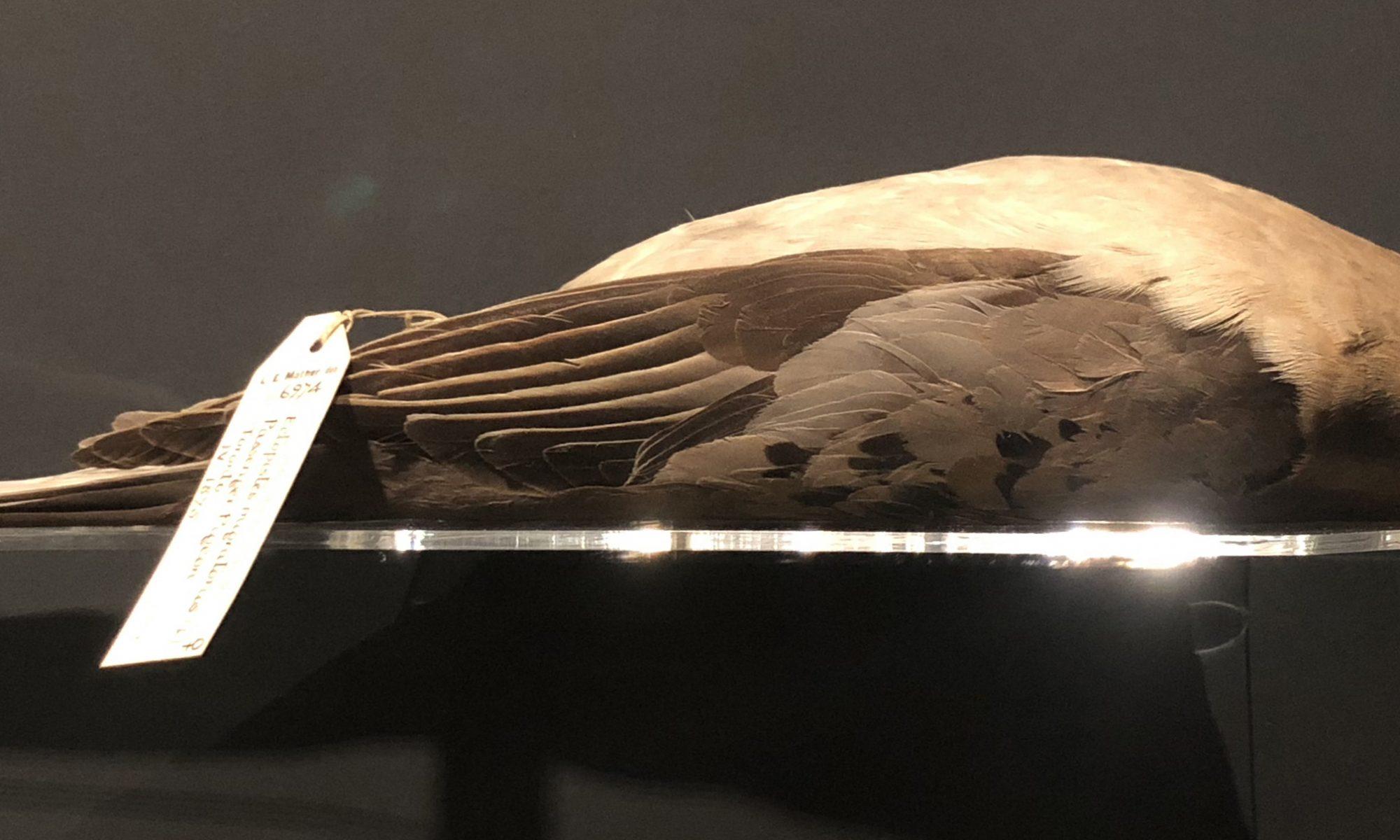 passenger pigeon specimen in Manchester Museum
